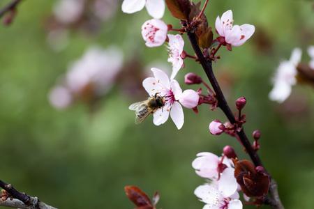 Germany,Wuerzburg,Honey Bee On Cherry Blossom LANG_EVOIMAGES