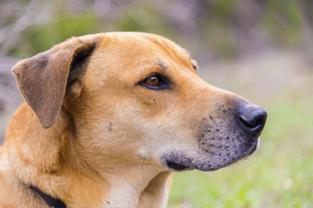 Blackmouth Cur Dog,Close Up LANG_EVOIMAGES
