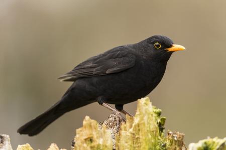 Germany,Hesse,Blackbird Perching On Tree LANG_EVOIMAGES