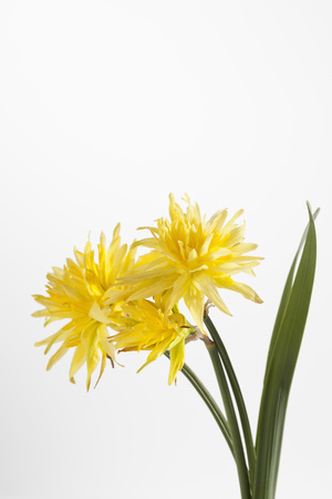 Yellow Daffodil Flowers Against White Background,Close Up LANG_EVOIMAGES