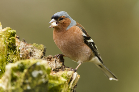 Germany,Hesse,Chaffinch Perching On Tree Trunk