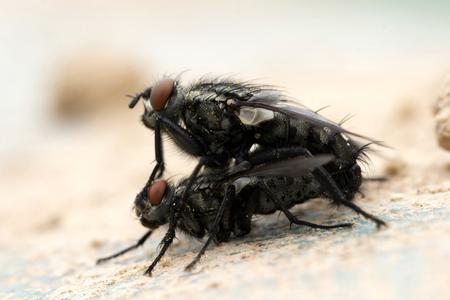 Germany,Bavaria,Flies Mating,Close Up