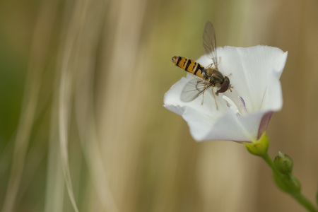 Germany,Bavaria,Hoverfly Nectaring On Bearbind