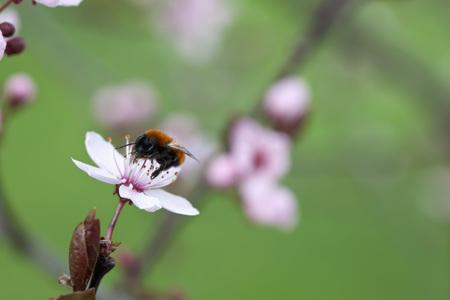 Germany, Wuerzburg,Bumblebee On Cherry Blossom