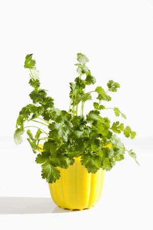 Potted Plant Of Coriander Herb On White Background,Close Up