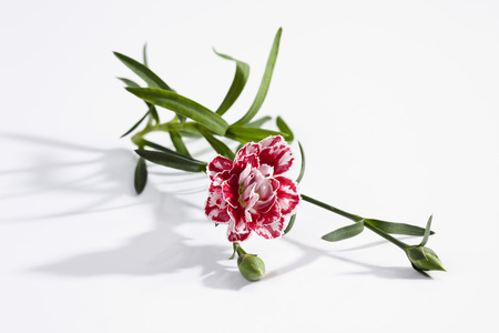 Red And White Dianthus Flowers On White Background,Close Up
