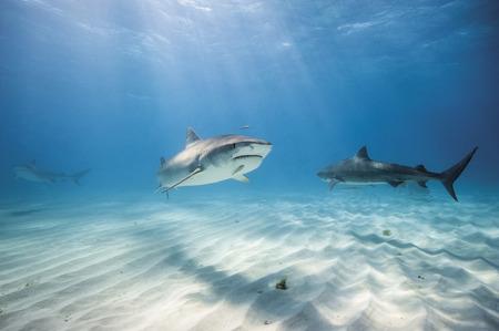 Bahamas,Tiger Sharks At Bahama Bank LANG_EVOIMAGES