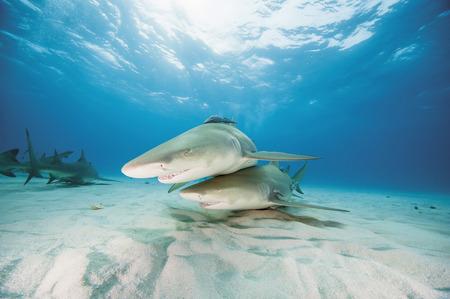 Bahamas,Lemon Sharks In Atlantic Ocean LANG_EVOIMAGES
