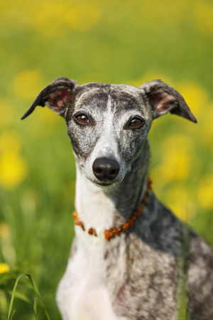 Germany,Baden Wuerttemberg,Whippet dog in meadow,close up LANG_EVOIMAGES