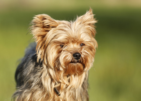 Germany,Baden Wuerttemberg,Yorkshire Terrier dog,close up