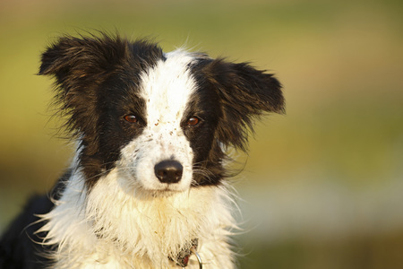 Germany,Baden Wuerttemberg,Border Collie dog looking away