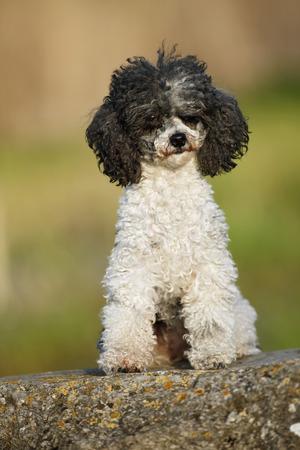Germany,Baden Wuerttemberg,Poodle dog sitting on rock
