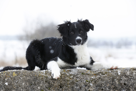 Germany,Baden Wuerttemberg,Border collie puppy lying on rock
