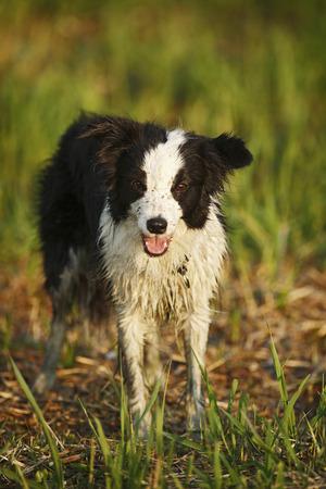 Germany,Baden Wuerttemberg,Border Collie dog on grass LANG_EVOIMAGES