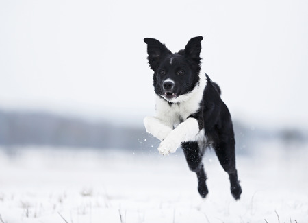 Germany,Baden Wuerttemberg,Border collie puppy jumping in snow