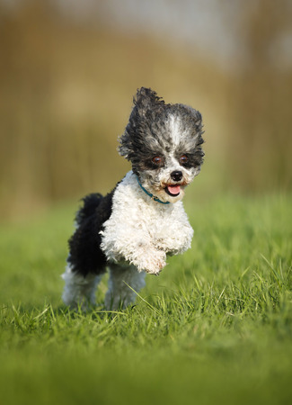 Germany,Baden Wuerttemberg,Poodle dog running in meadow