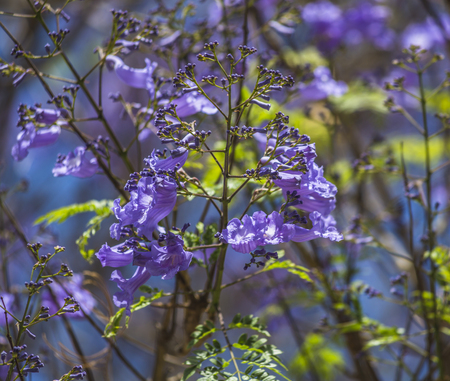 Spain,Las Palmas,Jacaranda mimosifolia,close up