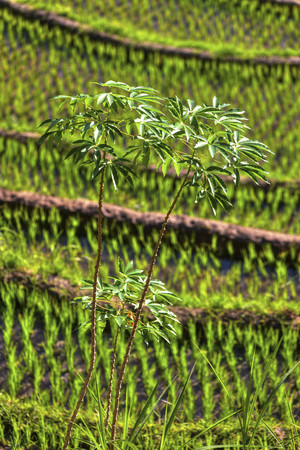 Indonesia,View of rice fields at mount Abang LANG_EVOIMAGES