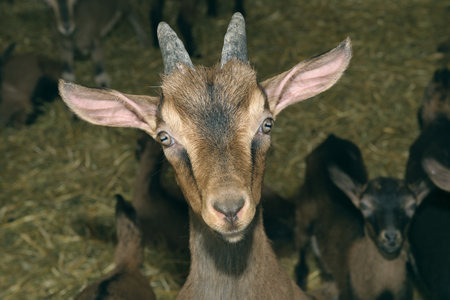 Germany,Baden Wuerttemberg,Goats in farm LANG_EVOIMAGES