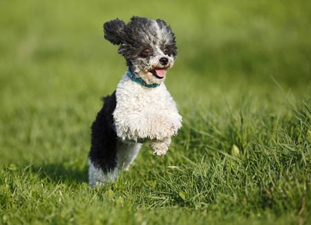 Germany,Baden Wuerttemberg,Dog running in meadow