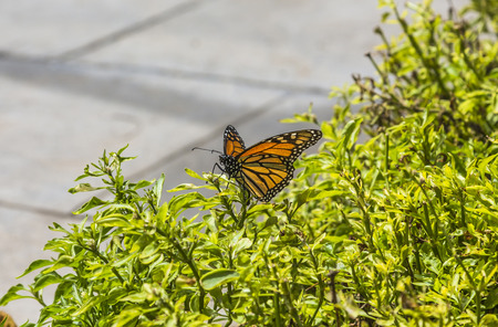 Spain,Las Palmas,Monarch butterfly flying on plant,close up LANG_EVOIMAGES