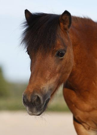 Germany,Baden Wuerttemberg,Shetland pony,close up LANG_EVOIMAGES