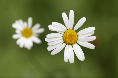 Austria,Meadow Daisy,close up LANG_EVOIMAGES