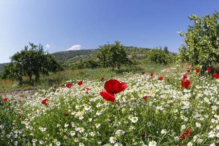 Turkey,Red poppy and chamomile at Meander valley LANG_EVOIMAGES