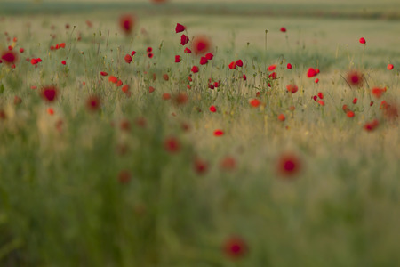 Germany,Baden Wuerttemberg,View of poppies in field