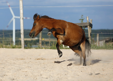 Germany,Baden Wuerttemberg,Shetland pony bucking on sand