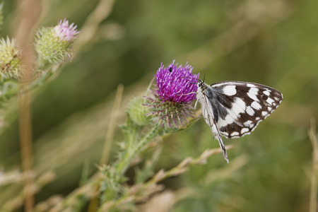 Austria,Marbled White on Spear Thistle flower,close up