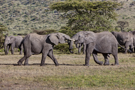 Africa,Kenya,View of African Elephant fighting at Masai Mara National Park LANG_EVOIMAGES