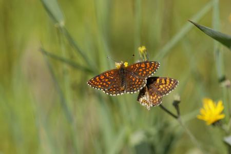 Austria,Calcareous grasslands or Violet Fritillary,close up