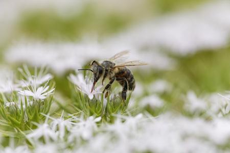 Croatia,Honey bee collecting pollen from flowers