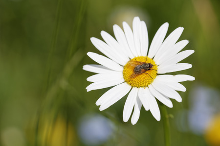 Austria,Meadow Daisy flower,close up LANG_EVOIMAGES