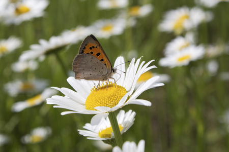 Germany,Rhineland Palatinate,Butterfly on marguerite,close up