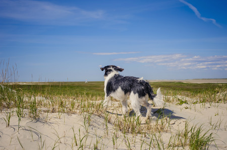 Denmark,Romo,Dog standing at North Sea