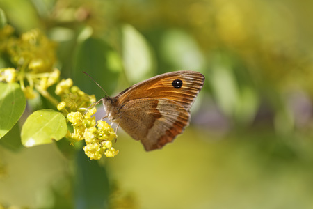 Croatia,Peacock butterfly on flowers LANG_EVOIMAGES