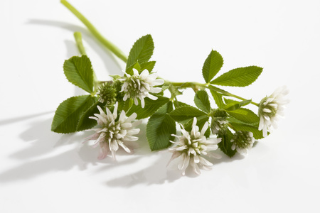 White Persian clover on white background,close up