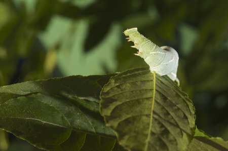 Germany,Hesse,Caterpillar of lime hawkmoth LANG_EVOIMAGES