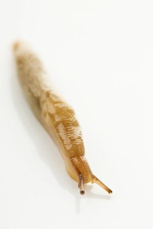 Slug on white background,close up