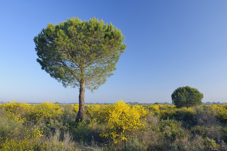 Spain,Pine tree in spring at Donana National Park LANG_EVOIMAGES
