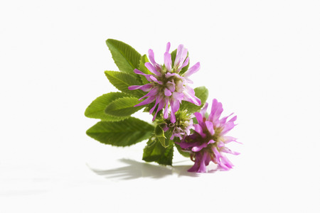 Pink persian clover on white background,close up