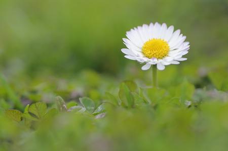 Germany,Bavaria,Daisy flower,close up