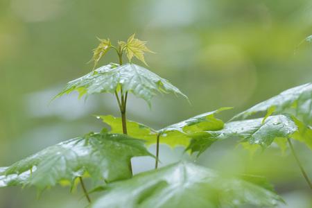 Germany,Bavaria,Leaves of Acer platanoides