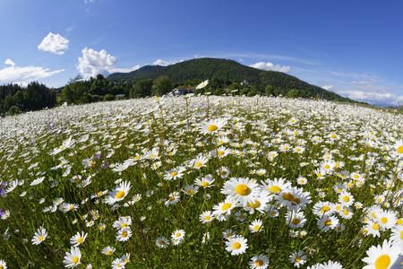 Austria,Carinthia,Marguerite flowers near Maria Saal