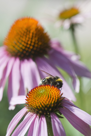 Germany,Bavaria,View of coneflower,close up LANG_EVOIMAGES
