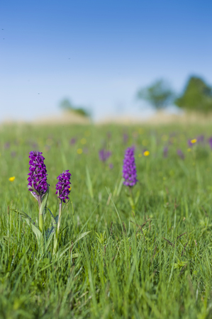 Germany,Mecklenburg-Vorpommern,View of Dactylorhiza majalis at meadow