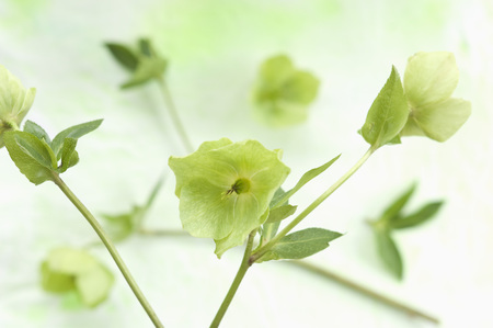 Helleborus niger flowers on textile,close up