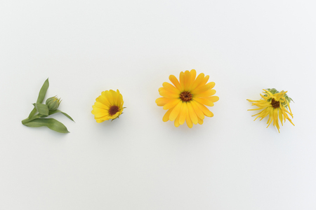 Pot Marigold (Calendula officinalis),medical plant,studio shot
